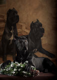 Black dog on the background of the picture Royalty Free Stock Photo