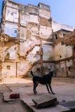 Black dog in backyard of broken houses in Varanasi royalty free stock photo