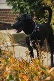 A black dog at backyard in fall