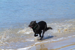 Black dog on beach stock photo