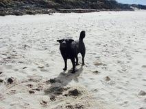 Black dog on the beach Stock Photos