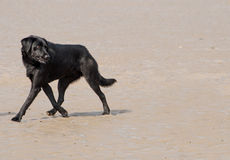 Black dog on beach Stock Images