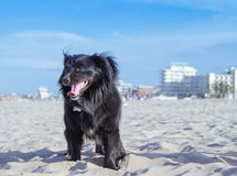 Black dog on the beach Royalty Free Stock Photography