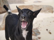 A black dog on the beach in Thailand. With an open mouth royalty free stock images