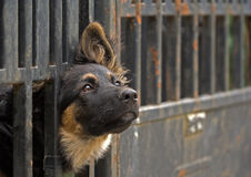 Black dog behind the fence. Cute lonely black dog watches something trough the dark fence Stock Photo