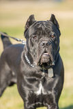Black dog. Big black dog on grass Royalty Free Stock Photos