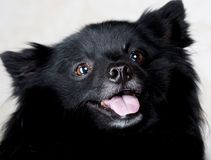 Black dog with big smile Stock Photography