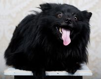 Black dog with big smile Royalty Free Stock Photography