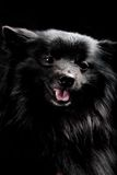 Black dog with big smile Stock Image