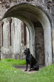 The black dog Stock Images