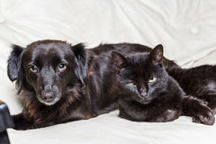 Black dog and black cat. Looking at camera on white background stock photography