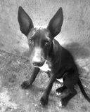 A black dog in black and white colors royalty free stock image