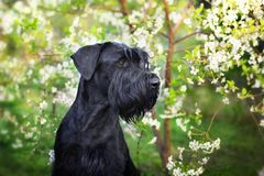Black dog on blossom tree. Giant schnauzer close up portrai on spring blossom royalty free stock photography