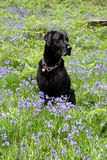 Black dog in bluebells Stock Photography