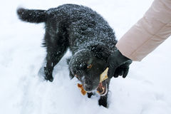 Black dog with a bone Royalty Free Stock Image