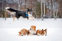 Four dos border collie playing in winter Royalty Free Stock Images