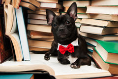 Black dog with bow reading book in library. Black dog with red bow reading book in library Royalty Free Stock Images