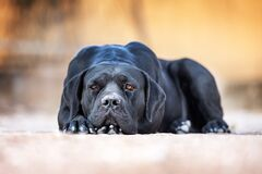 Free Black Dog Breed Cane Corso Lies On The Ground Stock Photography - 219303072