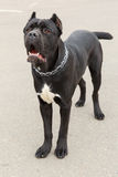 Black Dog breed Cane Corso standing Stock Photos