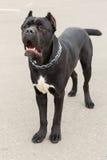 Black Dog breed Cane Corso standing Stock Photos