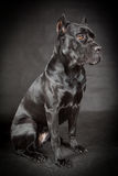 Black dog Cane corso Royalty Free Stock Image