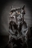 Black dog Cane corso. On the black background Royalty Free Stock Photography