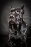 Black dog Cane corso Royalty Free Stock Photography