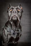 Black dog Cane corso Stock Image