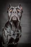 Black dog Cane corso Stock Image