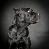 Black dog Cane corso. On the black background Royalty Free Stock Images