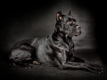 Black dog Cane corso Stock Images