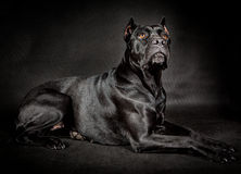 Black dog Cane corso. On the black background Stock Photography