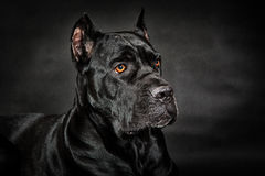 Black dog Cane corso Stock Photos