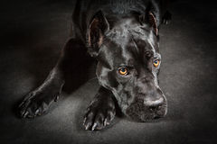 Black dog Cane corso Royalty Free Stock Photos