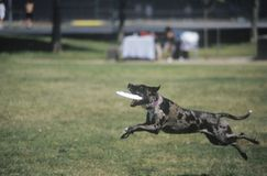 Black Dog catching Frisbee Royalty Free Stock Photo