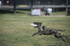 Black Dog catching Frisbee in Canine Frisbee Contest, Westwood, Los Angeles, CA Royalty Free Stock Photography