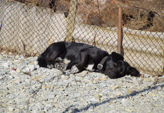 Black dog on a chain resting under a fence Royalty Free Stock Image
