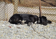 Black dog on a chain resting under a fence Stock Photos
