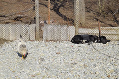 Black dog on a chain resting under a fence. chicken walks nearby Royalty Free Stock Images