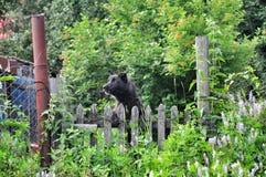 Black dog chain Stock Image
