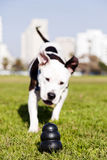 Pitbull Running to Dog Toy on Park Grass. A black dog chew toy at the front of the frame, with a Pitbull running towards it Stock Photos