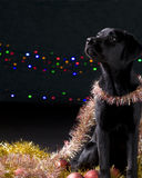 Black Dog with Christmas props Royalty Free Stock Image
