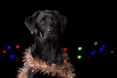 Black Dog with Christmas props Stock Images