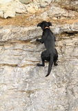 Black dog climbing rock Royalty Free Stock Photo