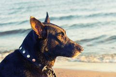 Black dog on the coast. In warm sunset light royalty free stock photography