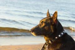 Black dog on the coast. In warm sunset light stock photography