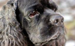 Black Dog Royalty Free Stock Photos