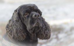Black Dog. Cocker Spaniel Volka my best friend Stock Image