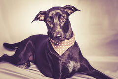 The black dog that concentrate to watching something Royalty Free Stock Images