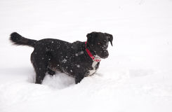 Black dog in deep snow Royalty Free Stock Images